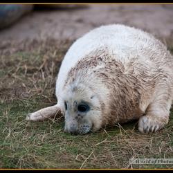 Grijze zeehonden pup