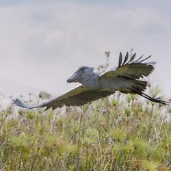 Uganda  - Shoebill