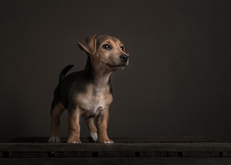 Tank, klein hondje groot karakter - Jack Russel pup in stilleven setting