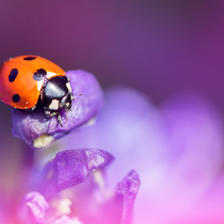 Dreamy Lady Bug