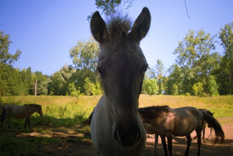 Konik Veulen - Lopend door het bos dat langs het natuurgebied loopt, kwam ik de kudde tegen, die profiteerde van het enige stukje schaduw op deze hete