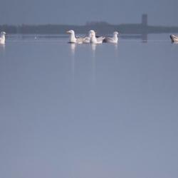 Drijvende meeuwen op het wad (2)