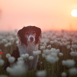 Zonsopkomst tussen de tulpen