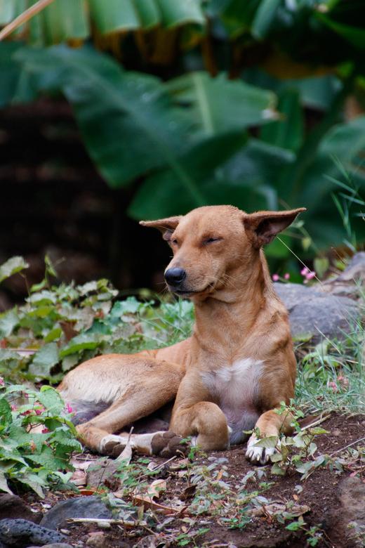 Heerlijk relaxen - Deze hond kwamen we tegen bij onze wandeling rond de oude hoofdstad, Cidade Velha, op het Kaapverdische eiland Santiago