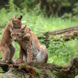 moeder lynx  met jong
