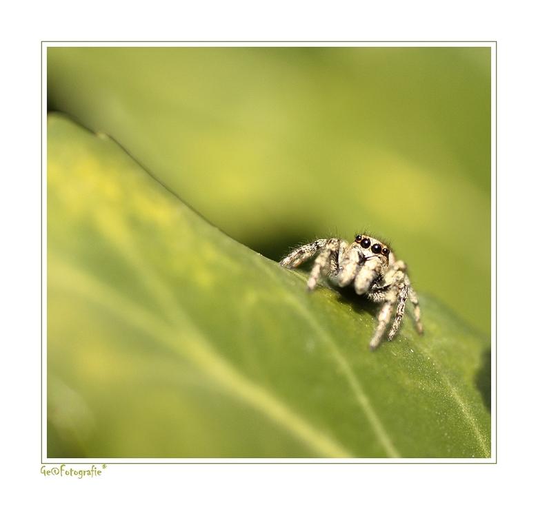 1e Zebra SpinNetje * - Gluurende oogjes*<br /> <br /> vanuit het groen...<br /> <br /> <br /> Vandaag voor het eerst een zebra spinnetje tegen ge