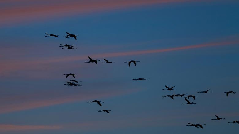 Op huis aan - In het laatste licht vlogen deze flamingo's naar hun rustplaats