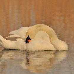 De elegante knobbelzwaan, bezig met het onderhouden van haar veren.