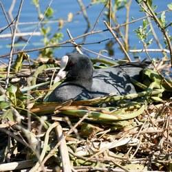 Meerkoet op haar nest