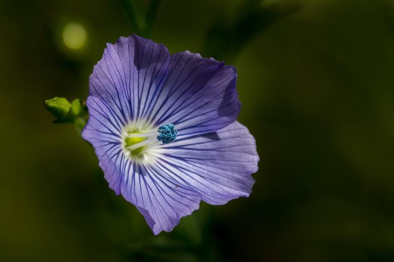 Het kleine bloemetje van de vlas - Bedankt voor de mooie reacties op de eikels aan de boom. <br /> Groetjes en fijne zondag, Leo