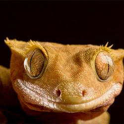 Caledonische gekko