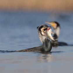 Aalscholver met vis