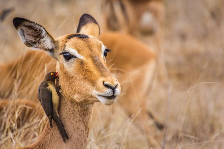 In fluisteren - Deze ossepikker verwijdert niet alleen de teken uit de vacht van de impala, maar hij maakt ook de wond groter om bloed te kunnen drink