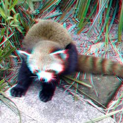 Red Panda Blijdorp Zoo Rotterdam 3D
