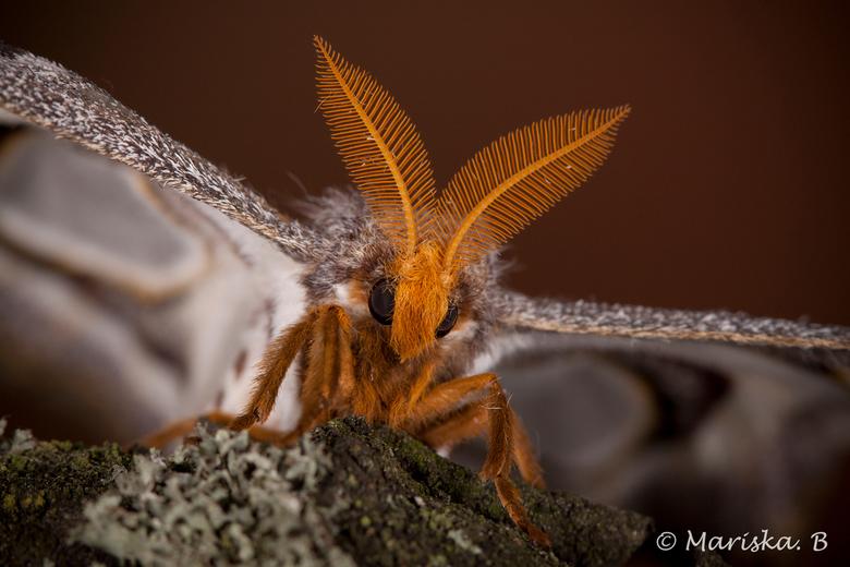 Epiphora Mythimnia - Epiphora Mythimnia<br /> <br /> Wat zijn ze toch prachtig, die nachtvlinders.