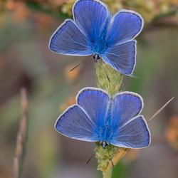 Dubbel Blauw