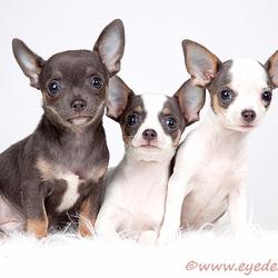 Chihuahua madness