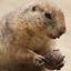 Prairiehond eet biet