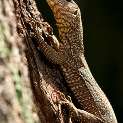 Forest Monitor Lizzard