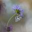 dambordje op paarse veldbloem
