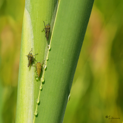 Cicade nymfen