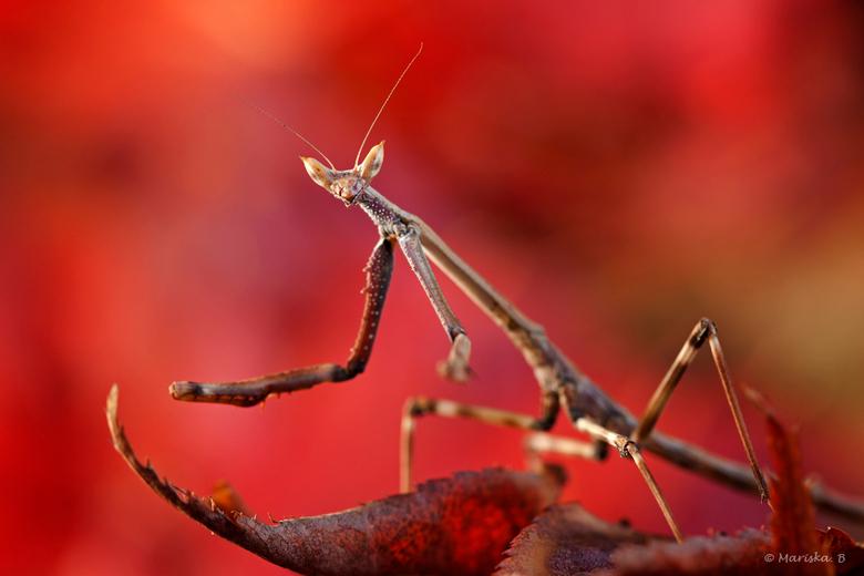 Japanse... - ...esdoorn met een heterochaeta orientalis. <br /> The African Giant Stick Mantis, nog niet zo giant hoor... nog lang niet volgroeid...