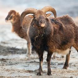 Mouflons op de Veluwe
