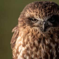 Boeboekuil/Masked owl