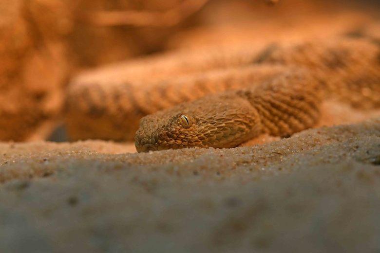 verborgen - De giftige Sahara zandadder verbergt zich door zich bijna geheel in het zand in te graven. Doordat er maar weinig mensen in het leefgebied