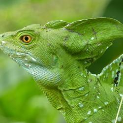 2010 Costa Rica groene leguaan.JPG