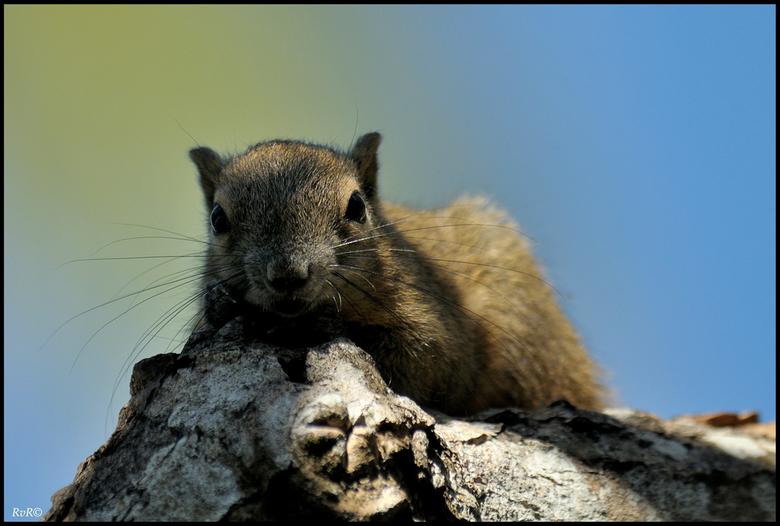 Balinese eekhoorn - Het is weer eens tijd om een dierenfoto te uploaden. In de tuin en in de bomen rond het zwembad van het Bali Hyatt zaten heel wat
