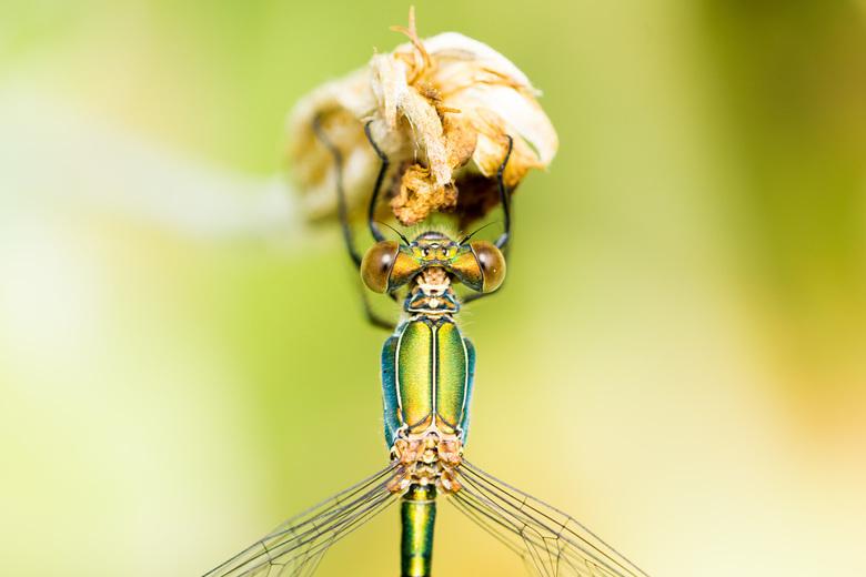 Libelle -