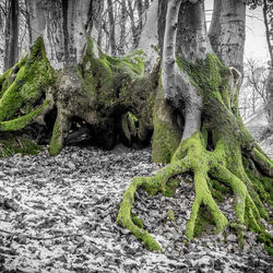 Green Root Tree (Sint-Jansberg)