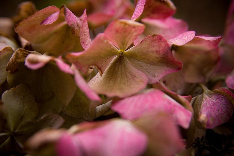 Hortensia - De hortensia begint al minder te worden, toch schemert er nog wat warme kleuren er door heen.