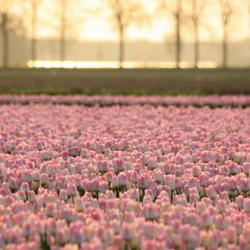 Zonsondergang over tulpenveld