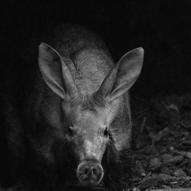 Aardvarken - Mentoraat 2 -