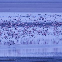 Flamingo vlucht