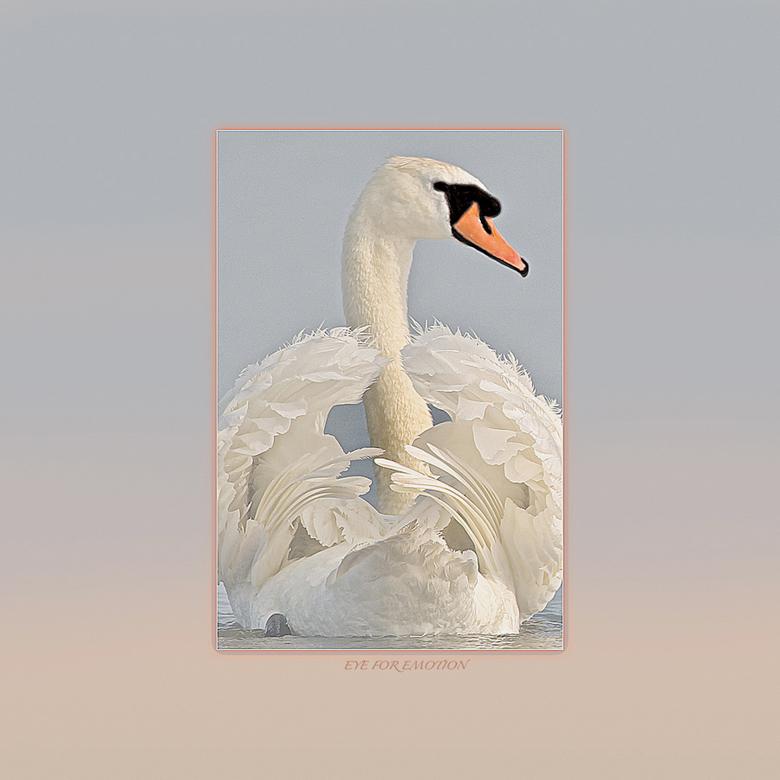 """Swanart - Mensen vragen wel eens aan me of ik  nou nooit genoeg van die zwanen krijg <img  src=""""/images/smileys/wilt.png""""/> maar het antwoord is altij"""