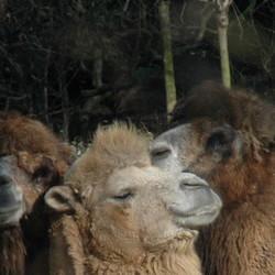 het laatste kamelennieuws