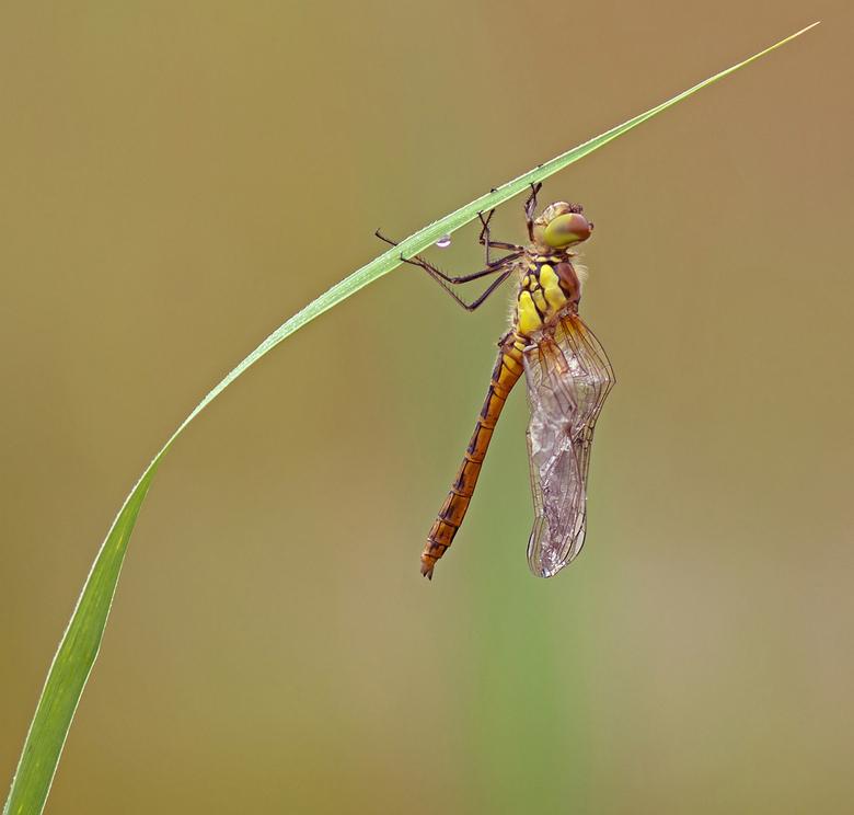 broken wings - Heidelibellen zijn niet de meest handige uitsluipers. Vaak sluipen ze net boven het water uit of in dichte vegetatie, waardoor er nog a