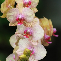 SWEET ORCHID
