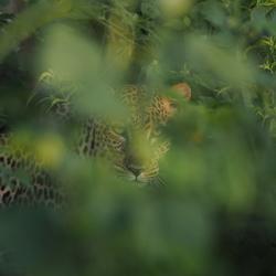Luipaard Oeganda