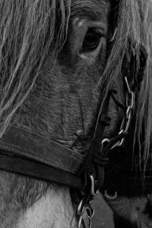 Close up paard - Dit trekpaard heeft onze kar getrokken over het strand van schiermonnikoog. Geweldig beest.