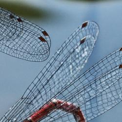 Vleugels vuurjuffers