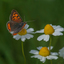 Een vuurvlindertje