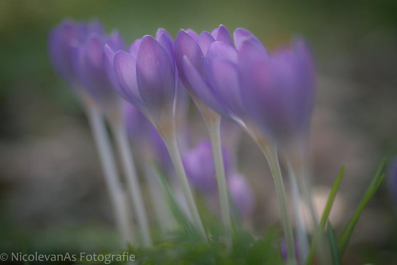 Spring is coming. - Tussen de sneeuwklokjes verschenen prachtige paarse krokussen.