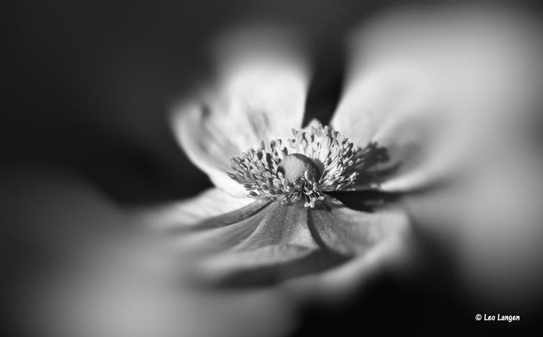 Nog een anemoon in zwart wit. - Allemaal bedankt voor de leuke reacties op mijn vorige foto.<br /> Blij mee.<br /> Groetjes Leo