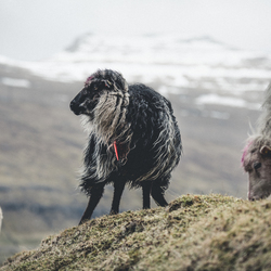 Sheep of the Faroe Islands