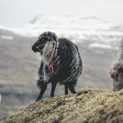 Sheep of the Faroe Islands