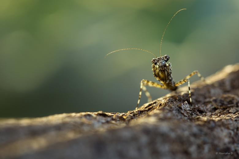 klein nimfje - Theopompa servillei, oftewel bark mantis. Kan zich goed camoufleren op boomschors. <br /> Voor het eerst is het me gelukt te kweken me